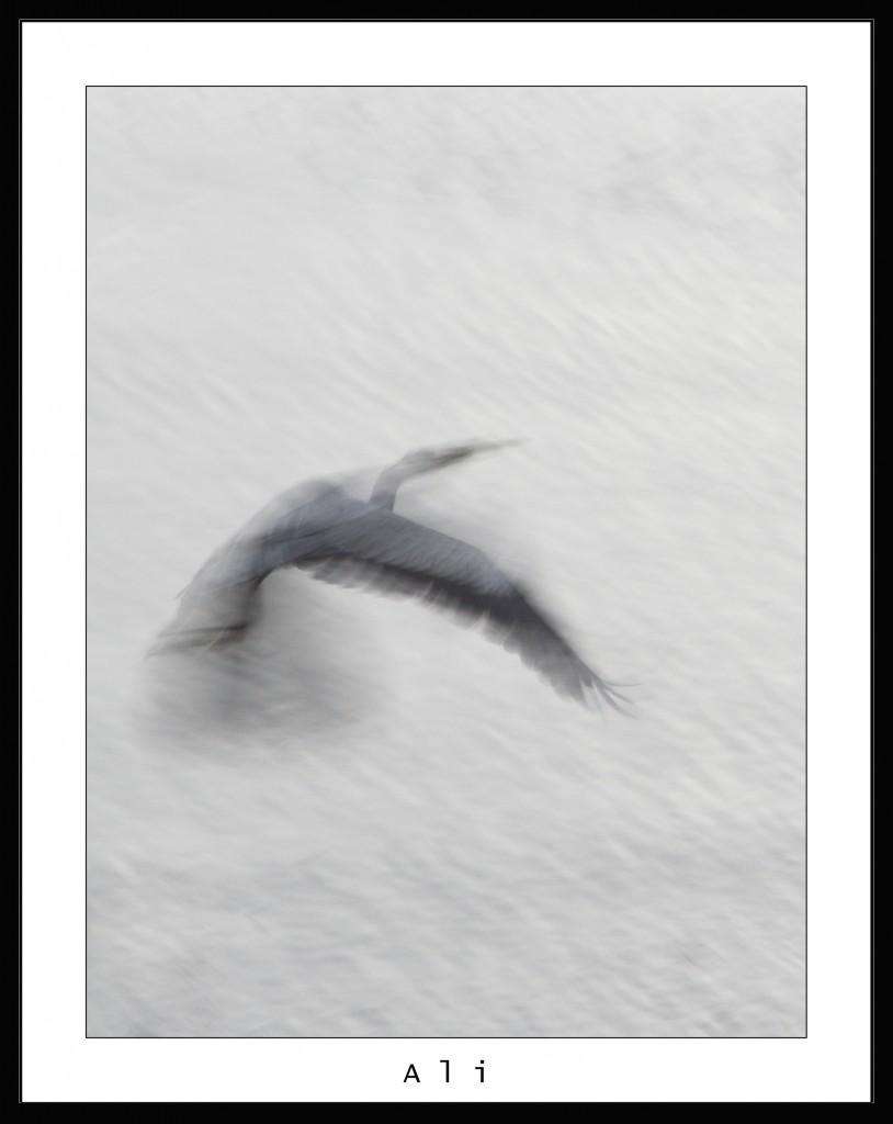 Ali di Airone Cinerino in volo sul Lungo Entella. Simone Civita 2007